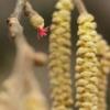 Paprastasis lazdynas - Corylus avellana | Fotografijos autorius : Vidas Brazauskas | © Macrogamta.lt | Šis tinklapis priklauso bendruomenei kuri domisi makro fotografija ir fotografuoja gyvąjį makro pasaulį.