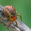 Paprastasis pinkliavoris - Enoplognatha ovata, juv. | Fotografijos autorius : Gintautas Steiblys | © Macrogamta.lt | Šis tinklapis priklauso bendruomenei kuri domisi makro fotografija ir fotografuoja gyvąjį makro pasaulį.