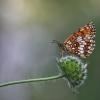 Paprastoji šaškytė - Melitaea athalia | Fotografijos autorius : Agnė Našlėnienė | © Macrogamta.lt | Šis tinklapis priklauso bendruomenei kuri domisi makro fotografija ir fotografuoja gyvąjį makro pasaulį.