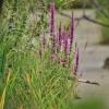 Paprastoji raudoklė - Lythrum salicaria   Fotografijos autorius : Kęstutis Obelevičius   © Macrogamta.lt   Šis tinklapis priklauso bendruomenei kuri domisi makro fotografija ir fotografuoja gyvąjį makro pasaulį.