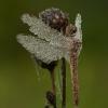 Paprastoji skėtė - Sympetrum vulgatum ♀ | Fotografijos autorius : Žilvinas Pūtys | © Macrogamta.lt | Šis tinklapis priklauso bendruomenei kuri domisi makro fotografija ir fotografuoja gyvąjį makro pasaulį.