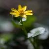 Pavasarinis švitriešis - Ficaria verna | Fotografijos autorius : Žilvinas Pūtys | © Macrogamta.lt | Šis tinklapis priklauso bendruomenei kuri domisi makro fotografija ir fotografuoja gyvąjį makro pasaulį.