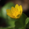 Pavasarinis švitriešis - Ficaria verna | Fotografijos autorius : Vidas Brazauskas | © Macrogamta.lt | Šis tinklapis priklauso bendruomenei kuri domisi makro fotografija ir fotografuoja gyvąjį makro pasaulį.