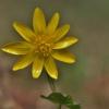 Pavasarinis švitriešis - Ranunculus ficaria (syn. Ficaria verna) | Fotografijos autorius : Kęstutis Obelevičius | © Macrogamta.lt | Šis tinklapis priklauso bendruomenei kuri domisi makro fotografija ir fotografuoja gyvąjį makro pasaulį.