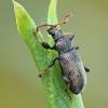 Sidabražvynis lapinukas - Phyllobius argentatus | Fotografijos autorius : Gintautas Steiblys | © Macrogamta.lt | Šis tinklapis priklauso bendruomenei kuri domisi makro fotografija ir fotografuoja gyvąjį makro pasaulį.