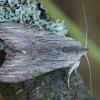 Pieninė kukulija - Cucullia lucifuga | Fotografijos autorius : Žilvinas Pūtys | © Macrogamta.lt | Šis tinklapis priklauso bendruomenei kuri domisi makro fotografija ir fotografuoja gyvąjį makro pasaulį.