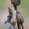Pietinis kupriukas - Ptilodon cucullina | Fotografijos autorius : Arūnas Eismantas | © Macrogamta.lt | Šis tinklapis priklauso bendruomenei kuri domisi makro fotografija ir fotografuoja gyvąjį makro pasaulį.