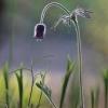 Pievinė šilagėlė - Pulsatilla pratensis | Fotografijos autorius : Agnė Našlėnienė | © Macrogamta.lt | Šis tinklapis priklauso bendruomenei kuri domisi makro fotografija ir fotografuoja gyvąjį makro pasaulį.