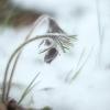 Pievinė šilagėlė - Pulsatilla pratensis   Fotografijos autorius : Vidas Brazauskas   © Macrogamta.lt   Šis tinklapis priklauso bendruomenei kuri domisi makro fotografija ir fotografuoja gyvąjį makro pasaulį.