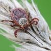 Pievinė erkė - Dermacentor reticulatus | Fotografijos autorius : Darius Baužys | © Macrogamta.lt | Šis tinklapis priklauso bendruomenei kuri domisi makro fotografija ir fotografuoja gyvąjį makro pasaulį.