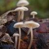 Pilkšvarudė mažasporė - Baeospora myosura | Fotografijos autorius : Žilvinas Pūtys | © Macrogamta.lt | Šis tinklapis priklauso bendruomenei kuri domisi makro fotografija ir fotografuoja gyvąjį makro pasaulį.