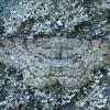 Pilkasis žievėsprindis - Hypomecis punctinalis ♂ | Fotografijos autorius : Žilvinas Pūtys | © Macrogamta.lt | Šis tinklapis priklauso bendruomenei kuri domisi makro fotografija ir fotografuoja gyvąjį makro pasaulį.
