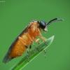 Pjūklelis - Athalia sp. | Fotografijos autorius : Vidas Brazauskas | © Macrogamta.lt | Šis tinklapis priklauso bendruomenei kuri domisi makro fotografija ir fotografuoja gyvąjį makro pasaulį.