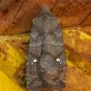 Plėšrusis vėlyvis - Eupsilia transversa | Fotografijos autorius : Žilvinas Pūtys | © Macrogamta.lt | Šis tinklapis priklauso bendruomenei kuri domisi makro fotografija ir fotografuoja gyvąjį makro pasaulį.