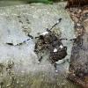 Platystomos albinus - Paprastasis netikrastraublis | Fotografijos autorius : Kazimieras Martinaitis | © Macrogamta.lt | Šis tinklapis priklauso bendruomenei kuri domisi makro fotografija ir fotografuoja gyvąjį makro pasaulį.