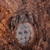 Plyšiamėgis landuolis - Nuctenea umbratica   Fotografijos autorius : Žilvinas Pūtys   © Macrogamta.lt   Šis tinklapis priklauso bendruomenei kuri domisi makro fotografija ir fotografuoja gyvąjį makro pasaulį.