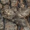 Polia nebulosa - Pilkasis pelėdgalvis   Fotografijos autorius : Žilvinas Pūtys   © Macrogamta.lt   Šis tinklapis priklauso bendruomenei kuri domisi makro fotografija ir fotografuoja gyvąjį makro pasaulį.