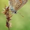 Polyommatus thersites | Fotografijos autorius : Armen Seropian | © Macrogamta.lt | Šis tinklapis priklauso bendruomenei kuri domisi makro fotografija ir fotografuoja gyvąjį makro pasaulį.
