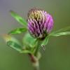 Raudonasis dobilas - Trifolium pratense | Fotografijos autorius : Ramunė Činčikienė | © Macrogamta.lt | Šis tinklapis priklauso bendruomenei kuri domisi makro fotografija ir fotografuoja gyvąjį makro pasaulį.