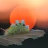 Raudonuodegis verpikas - Calliteara pudibunda, vikšras | Fotografijos autorius : Agnė Našlėnienė | © Macrogamta.lt | Šis tinklapis priklauso bendruomenei kuri domisi makro fotografija ir fotografuoja gyvąjį makro pasaulį.