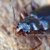 Rudasis žievėžygis - Dromius quadraticollis | Fotografijos autorius : Romas Ferenca | © Macrogamta.lt | Šis tinklapis priklauso bendruomenei kuri domisi makro fotografija ir fotografuoja gyvąjį makro pasaulį.