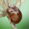 Rudasis puošnys - Chrysolina staphylea | Fotografijos autorius : Romas Ferenca | © Macrogamta.lt | Šis tinklapis priklauso bendruomenei kuri domisi makro fotografija ir fotografuoja gyvąjį makro pasaulį.