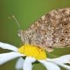 Gelsvamargis satyras - Lasiommata megera | Fotografijos autorius : Agnė Našlėnienė | © Macrogamta.lt | Šis tinklapis priklauso bendruomenei kuri domisi makro fotografija ir fotografuoja gyvąjį makro pasaulį.