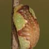Rudasis vėžlinukas - Heterogenea asella, vikšras  | Fotografijos autorius : Lukas Jonaitis | © Macrogamta.lt | Šis tinklapis priklauso bendruomenei kuri domisi makro fotografija ir fotografuoja gyvąjį makro pasaulį.