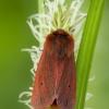 Rudoji meškutė - Phragmatobia fuliginosa | Fotografijos autorius : Žilvinas Pūtys | © Macrogamta.lt | Šis tinklapis priklauso bendruomenei kuri domisi makro fotografija ir fotografuoja gyvąjį makro pasaulį.