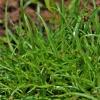Rudoji viksvuolė - Cyperus fuscus | Fotografijos autorius : Kęstutis Obelevičius | © Macrogamta.lt | Šis tinklapis priklauso bendruomenei kuri domisi makro fotografija ir fotografuoja gyvąjį makro pasaulį.