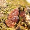Serbentinis skydamaris - Parthenolecanium corni | Fotografijos autorius : Vytautas Tamutis | © Macrogamta.lt | Šis tinklapis priklauso bendruomenei kuri domisi makro fotografija ir fotografuoja gyvąjį makro pasaulį.