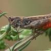Raudonpilvis skėriukas - Omocestus haemorrhoidalis | Fotografijos autorius : Gintautas Steiblys | © Macrogamta.lt | Šis tinklapis priklauso bendruomenei kuri domisi makro fotografija ir fotografuoja gyvąjį makro pasaulį.