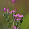 Skėtinė širdažolė - Centaurium erythraea | Fotografijos autorius : Agnė Našlėnienė | © Macrogamta.lt | Šis tinklapis priklauso bendruomenei kuri domisi makro fotografija ir fotografuoja gyvąjį makro pasaulį.