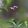 Skėtinė marenikė – Chimaphila umbellata | Fotografijos autorius : Agnė Našlėnienė | © Macrogamta.lt | Šis tinklapis priklauso bendruomenei kuri domisi makro fotografija ir fotografuoja gyvąjį makro pasaulį.