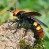 Skolija - Megascolia maculata ♀ | Fotografijos autorius : Gintautas Steiblys | © Macrogamta.lt | Šis tinklapis priklauso bendruomenei kuri domisi makro fotografija ir fotografuoja gyvąjį makro pasaulį.