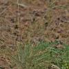 Smėlyninis eraičinas - Festuca psammophila | Fotografijos autorius : Kęstutis Obelevičius | © Macrogamta.lt | Šis tinklapis priklauso bendruomenei kuri domisi makro fotografija ir fotografuoja gyvąjį makro pasaulį.