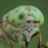 Sparva - Atylotus rusticus ♀ | Fotografijos autorius : Žilvinas Pūtys | © Macrogamta.lt | Šis tinklapis priklauso bendruomenei kuri domisi makro fotografija ir fotografuoja gyvąjį makro pasaulį.
