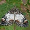 Miškinė cidarija - Dysstroma truncata   Fotografijos autorius : Gintautas Steiblys   © Macrogamta.lt   Šis tinklapis priklauso bendruomenei kuri domisi makro fotografija ir fotografuoja gyvąjį makro pasaulį.