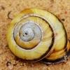 Sraigė - Caucasotachea calligera | Fotografijos autorius : Deividas Makavičius | © Macrogamta.lt | Šis tinklapis priklauso bendruomenei kuri domisi makro fotografija ir fotografuoja gyvąjį makro pasaulį.