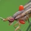 Sraigžudė - Limnia unguicornis su erkėm | Fotografijos autorius : Vidas Brazauskas | © Macrogamta.lt | Šis tinklapis priklauso bendruomenei kuri domisi makro fotografija ir fotografuoja gyvąjį makro pasaulį.