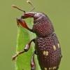 Straubliukas - Hylobius verrucipennis   Fotografijos autorius : Gintautas Steiblys   © Macrogamta.lt   Šis tinklapis priklauso bendruomenei kuri domisi makro fotografija ir fotografuoja gyvąjį makro pasaulį.