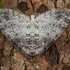 Tamsiajuostis skiautenis - Lobophora halterata   Fotografijos autorius : Žilvinas Pūtys   © Macrogamta.lt   Šis tinklapis priklauso bendruomenei kuri domisi makro fotografija ir fotografuoja gyvąjį makro pasaulį.