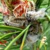 Pušinis keliaujantis kuoduotis - Thaumetopoea pinivora | Fotografijos autorius : Vitalii Alekseev | © Macrogamta.lt | Šis tinklapis priklauso bendruomenei kuri domisi makro fotografija ir fotografuoja gyvąjį makro pasaulį.