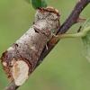 Tošinis kuoduotis - Phalera bucephala   Fotografijos autorius : Gintautas Steiblys   © Macrogamta.lt   Šis tinklapis priklauso bendruomenei kuri domisi makro fotografija ir fotografuoja gyvąjį makro pasaulį.