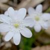 Triskiautė žibuoklė (Hepatica nobilis)   Fotografijos autorius : Gediminas Gražulevičius   © Macrogamta.lt   Šis tinklapis priklauso bendruomenei kuri domisi makro fotografija ir fotografuoja gyvąjį makro pasaulį.