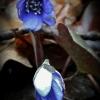 Triskiautė žibuoklė - Hepatica nobilis | Fotografijos autorius : Kęstutis Obelevičius | © Macrogamta.lt | Šis tinklapis priklauso bendruomenei kuri domisi makro fotografija ir fotografuoja gyvąjį makro pasaulį.