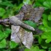 Tuopinis sfinksas - Laothoe populi | Fotografijos autorius : Romas Ferenca | © Macrogamta.lt | Šis tinklapis priklauso bendruomenei kuri domisi makro fotografija ir fotografuoja gyvąjį makro pasaulį.