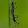 Uodas - Molophilus ater | Fotografijos autorius : Žilvinas Pūtys | © Macrogamta.lt | Šis tinklapis priklauso bendruomenei kuri domisi makro fotografija ir fotografuoja gyvąjį makro pasaulį.