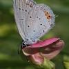 Uodegotasis melsvys - Cupido argiades | Fotografijos autorius : Gintautas Steiblys | © Macrogamta.lt | Šis tinklapis priklauso bendruomenei kuri domisi makro fotografija ir fotografuoja gyvąjį makro pasaulį.
