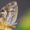 Pelargoninis melsvys - Cacyreus marshalli | Fotografijos autorius : Deividas Makavičius | © Macrogamta.lt | Šis tinklapis priklauso bendruomenei kuri domisi makro fotografija ir fotografuoja gyvąjį makro pasaulį.